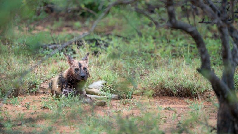Cães selvagens africanos em África do Sul imagem de stock royalty free