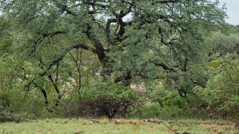 Cães selvagens africanos em África do Sul foto de stock