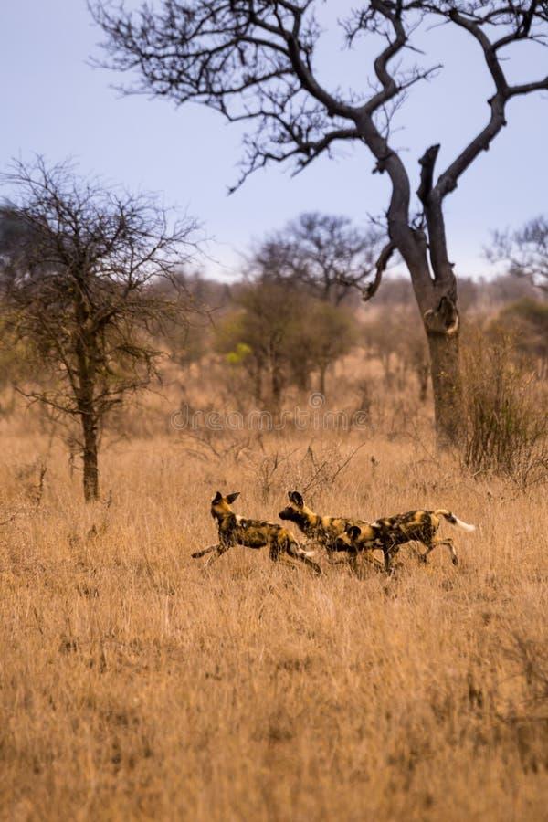 Cães selvagens africanos novos que jogam no savana, Kruger, África do Sul fotos de stock royalty free