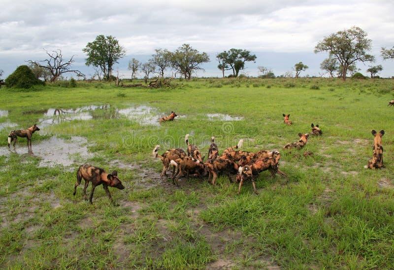 Cães selvagens africanos que alimentam no tsessebe foto de stock royalty free