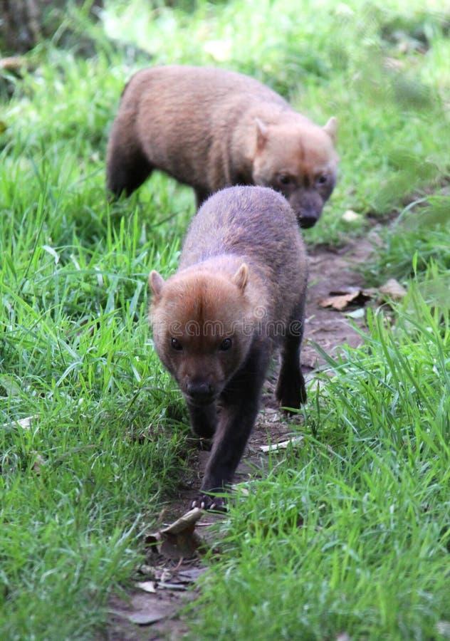 Cães selvagens de Bush que andam para a câmera fotos de stock royalty free