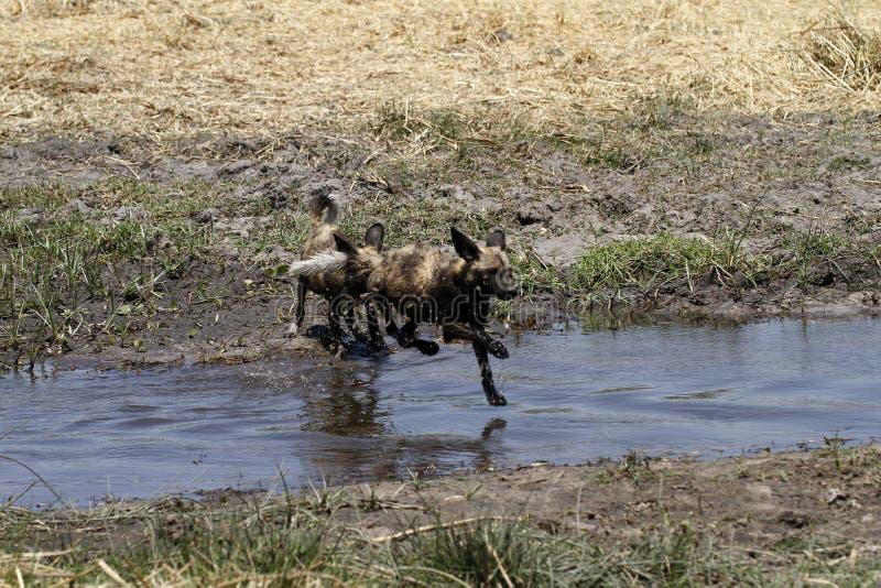Cães selvagens um pulo foto de stock royalty free