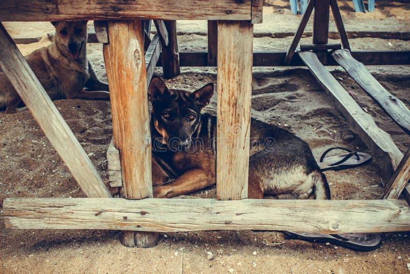Cães tailandeses imagem de stock