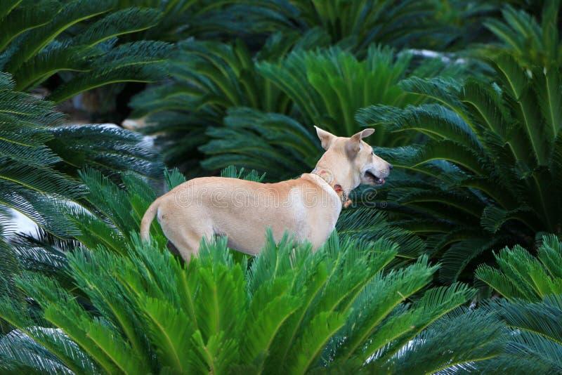 C?es tailandeses no jardim da palma foto de stock