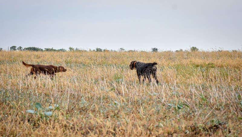 Cães wairehaired alemães do ponteiro do amd vermelho do setter irlandês no campo Aponte uma caça do lance do pássaro foto de stock royalty free