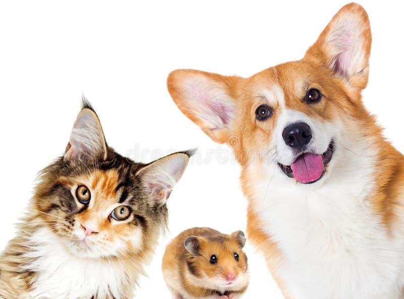 Cãezinhos e gatinhos e cobaias foto de stock