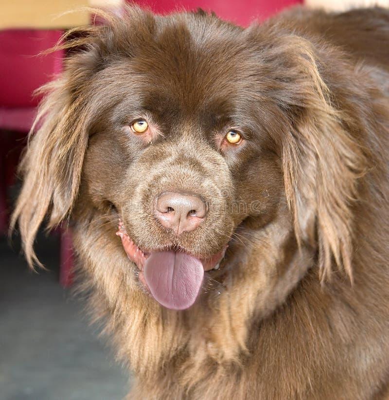 Cão 1 de Terra Nova foto de stock royalty free