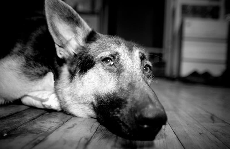 Download Cão foto de stock. Imagem de melhor, olho, cão, face, amigos - 62922