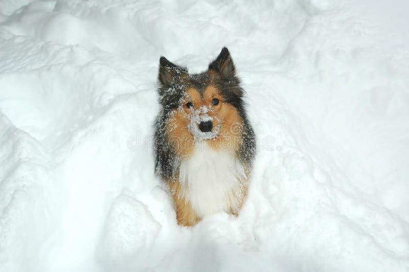 Cão 8 da neve imagens de stock