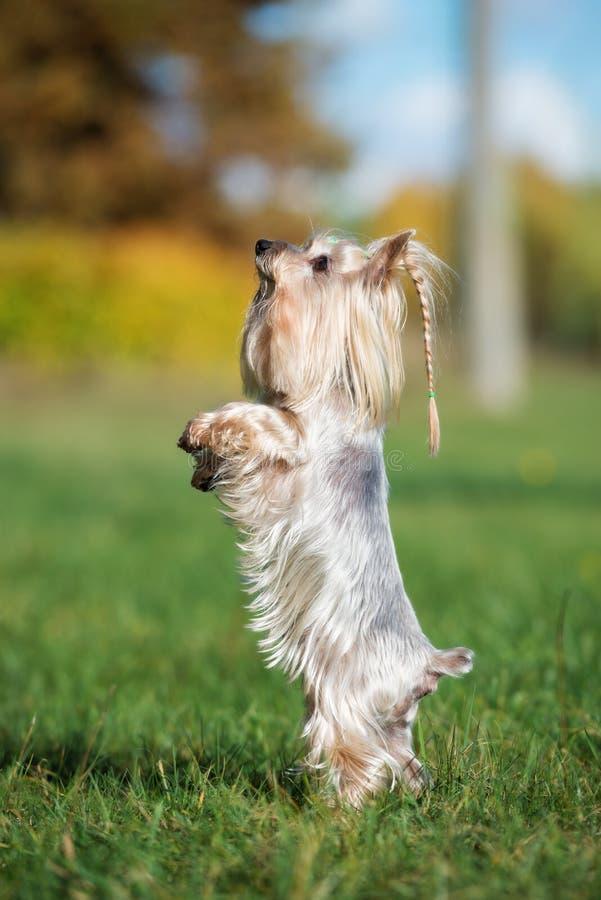 Cão adorável do yorkshire terrier fora no verão imagem de stock