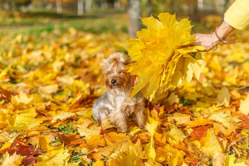 Cão adorável do yorkshire terrier que levanta nas folhas caídas no parque do outono fotos de stock royalty free