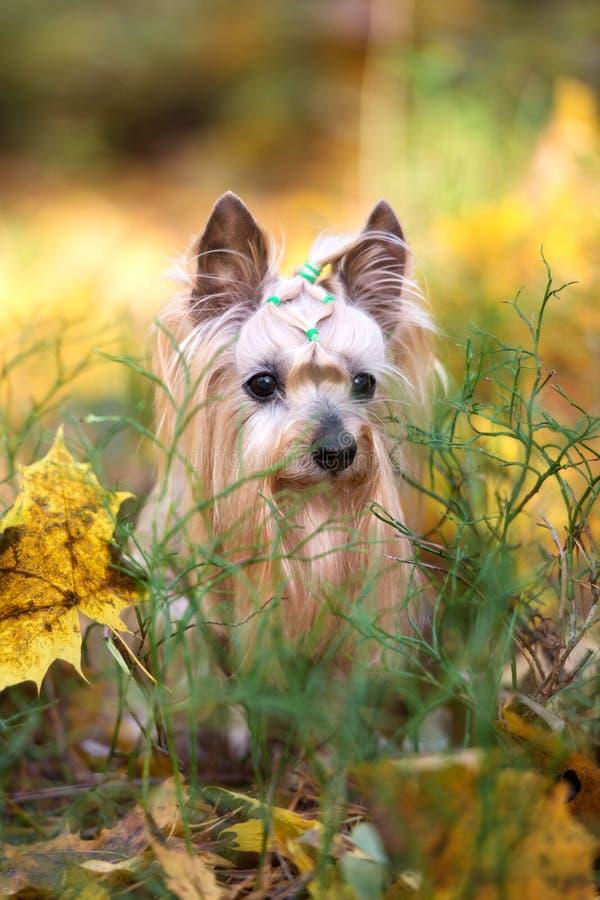 Cão adorável do yorkshire terrier que levanta no outono foto de stock