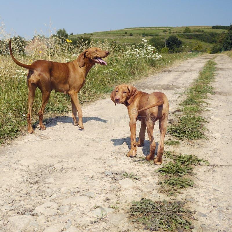 Cão adulto de Vizsla com um filhote de cachorro imagens de stock royalty free