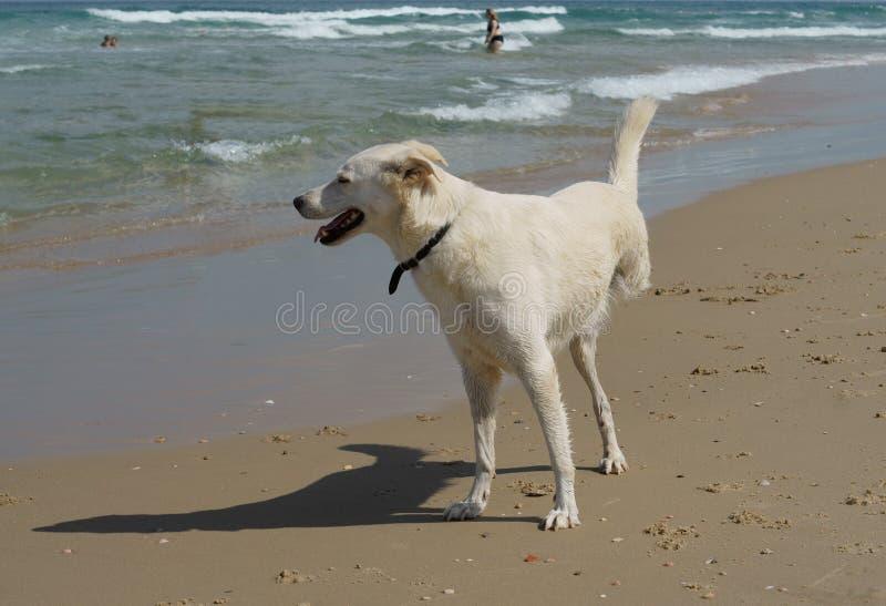 Cão alegre da inabilidade em três pés que jogam na praia em Charles Clore Park Tel Aviv imagens de stock
