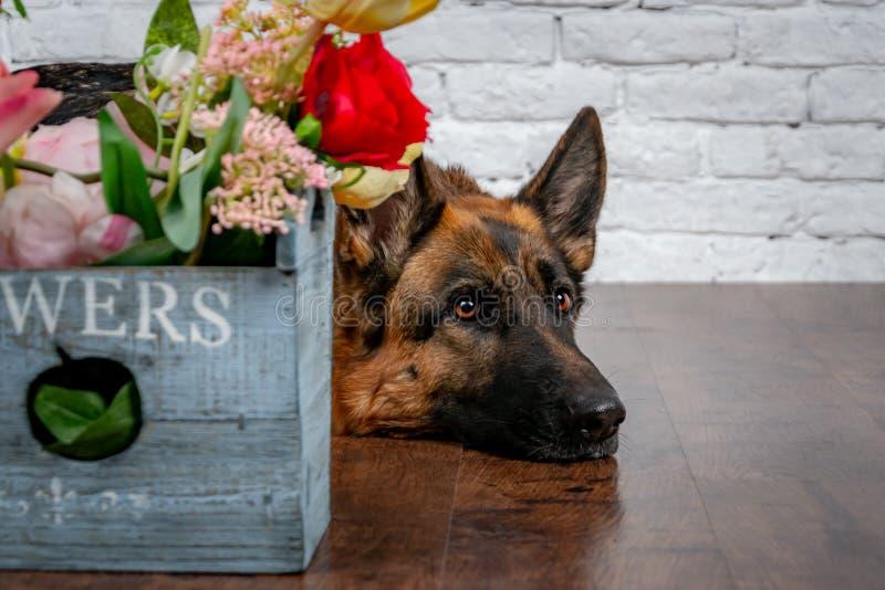 Cão alegre alegre em um fundo do tijolo Pastor alemão com um ramalhete das flores imagem de stock
