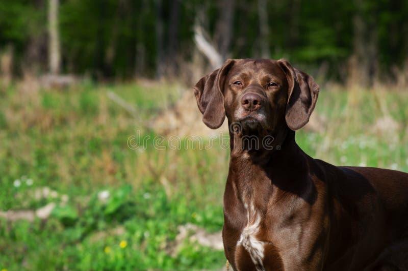 Cão alemão do caçador do ponteiro de cabelos curtos fotografia de stock royalty free