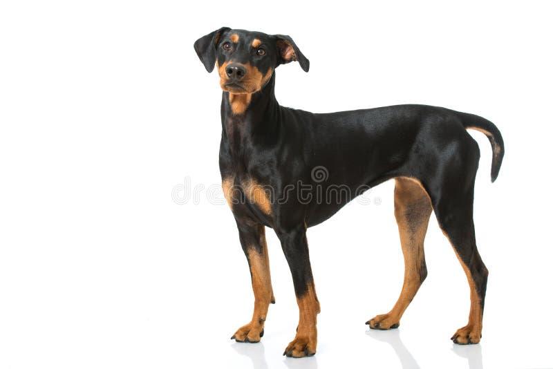 Cão alemão do pinscher foto de stock royalty free