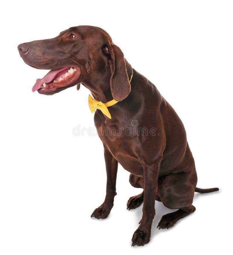 Cão alemão do ponteiro de cabelos curtos com laço imagens de stock royalty free