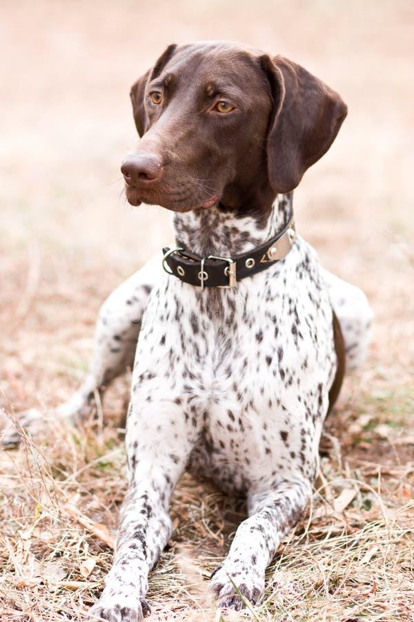 Cão alemão do ponteiro de cabelos curtos que senta-se no campo imagem de stock