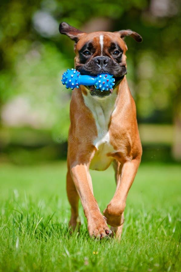 Cão alemão do pugilista que corre com um brinquedo fotos de stock royalty free