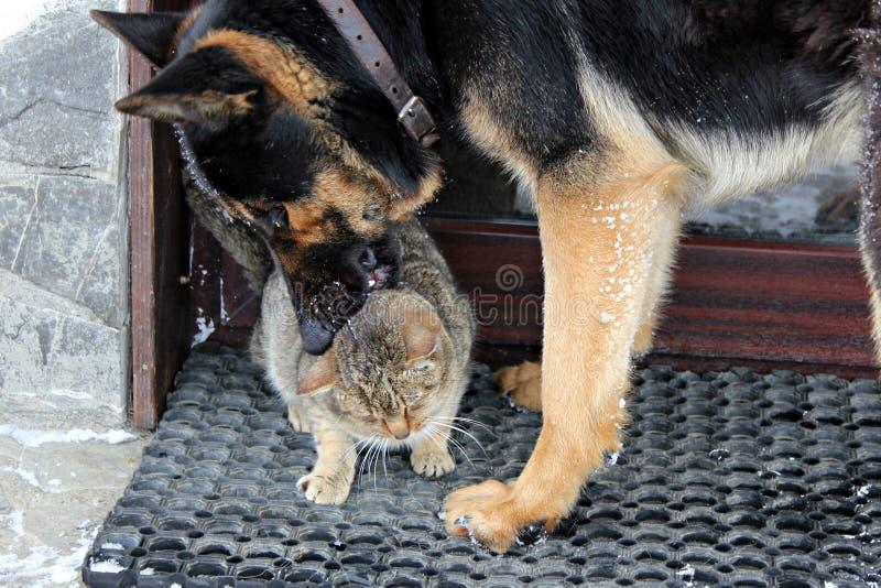 Cão alemão do sheppard que joga com um gato cinzento fotografia de stock royalty free