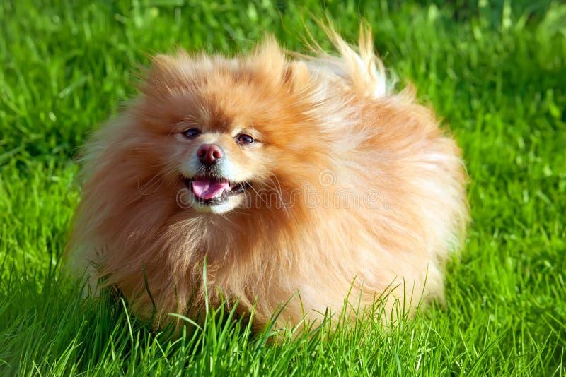 Cão alemão do spitz fotografia de stock
