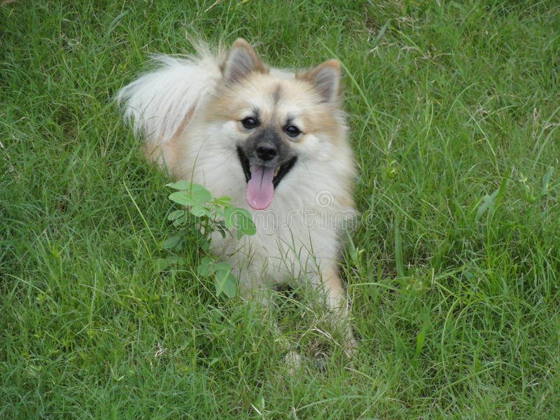 cão alemão dourado do spitz imagens de stock royalty free