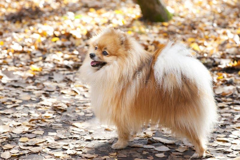 Cão alemão vermelho do spitz fotografia de stock royalty free