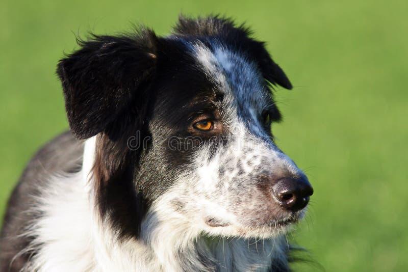 Cão alerta saudável de border collie. imagem de stock