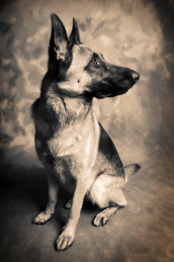 cão alsatian imagem de stock royalty free