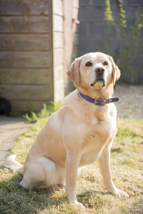 Cão amarelo de Labrador fotos de stock