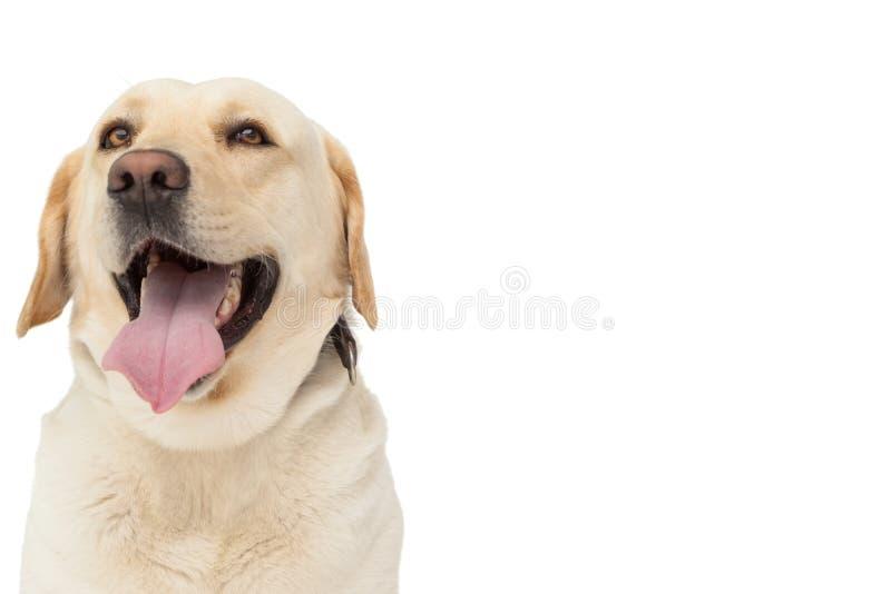 Cão amarelo de Labrador com língua para fora fotos de stock