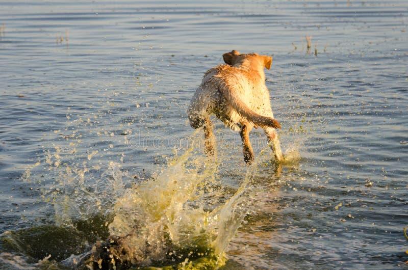 Cão amarelo de Labrador que salta na água fotos de stock royalty free