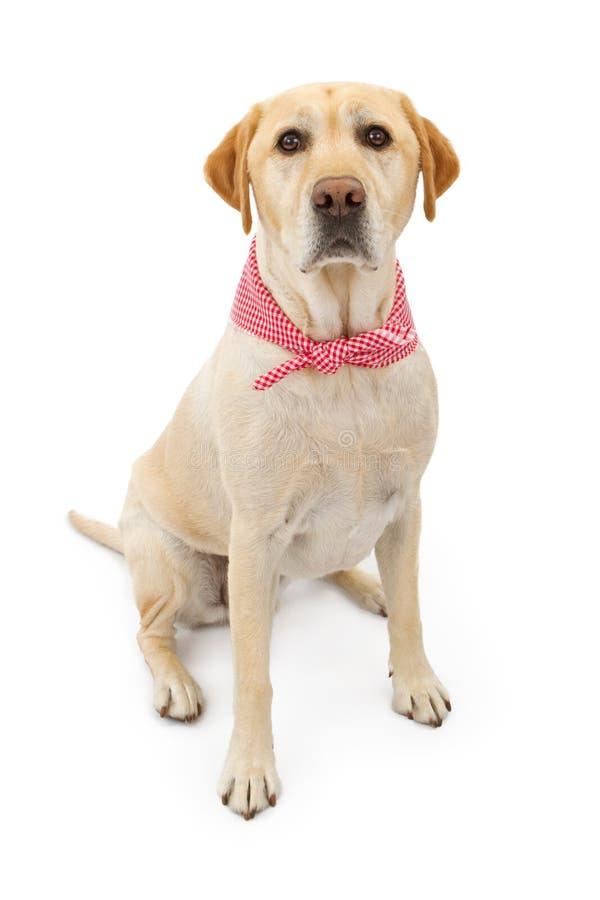 Cão amarelo do Retriever de Labrador com Bandana fotografia de stock royalty free