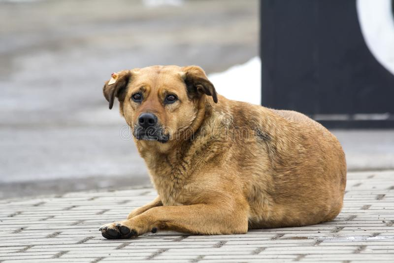 Cão amarelo triste na expectativa do proprietário Retrato de um animal de estimação na terra imagem de stock royalty free