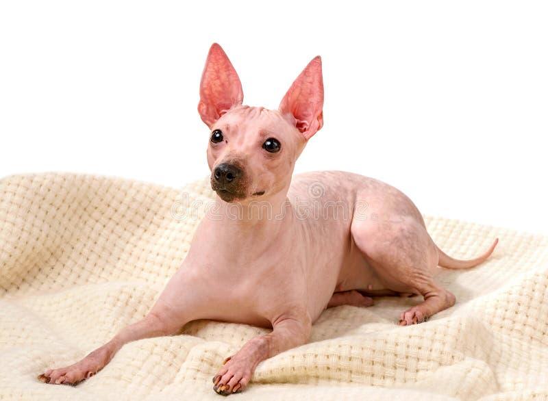 Cão americano Hairless Terrier no plaid de lã isolado contra fundo branco imagem de stock royalty free