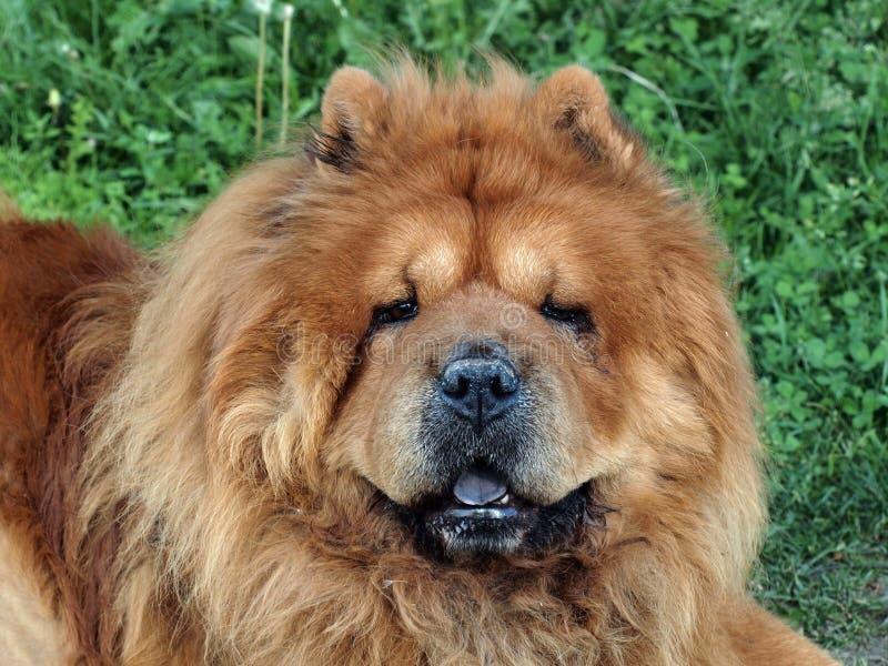 Cão amigável da comida-comida de Brown imagens de stock