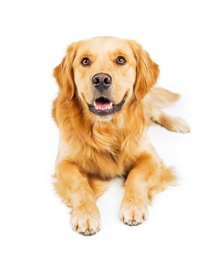 Cão amigável do golden retriever que encontra-se no branco imagem de stock royalty free