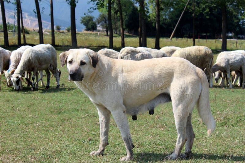 Cão anatólio do sheepherd fotos de stock royalty free