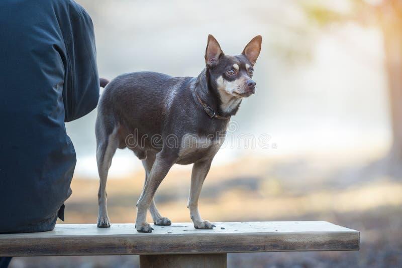 Cão ao andar em uma trela no parque foto de stock
