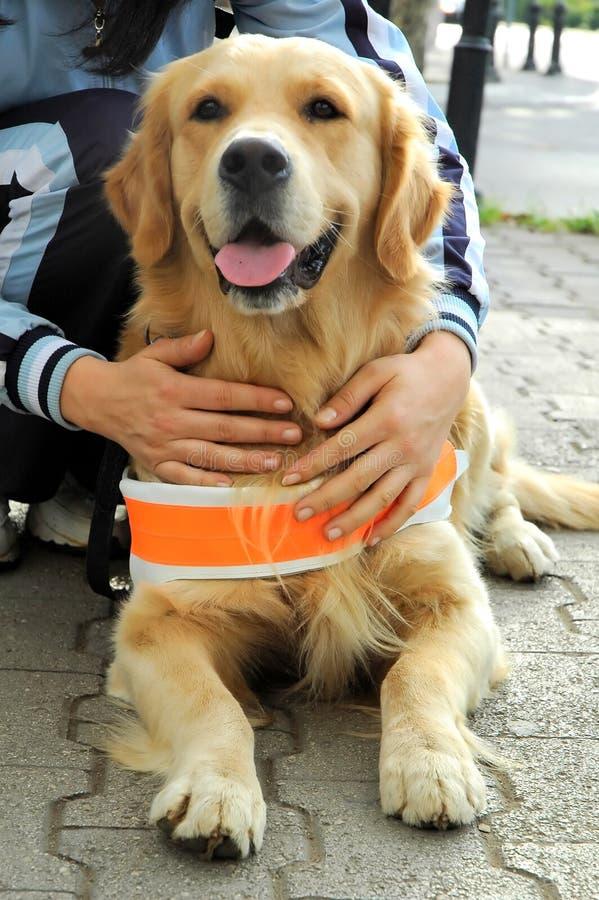 Cão assistente para povos cegos imagens de stock