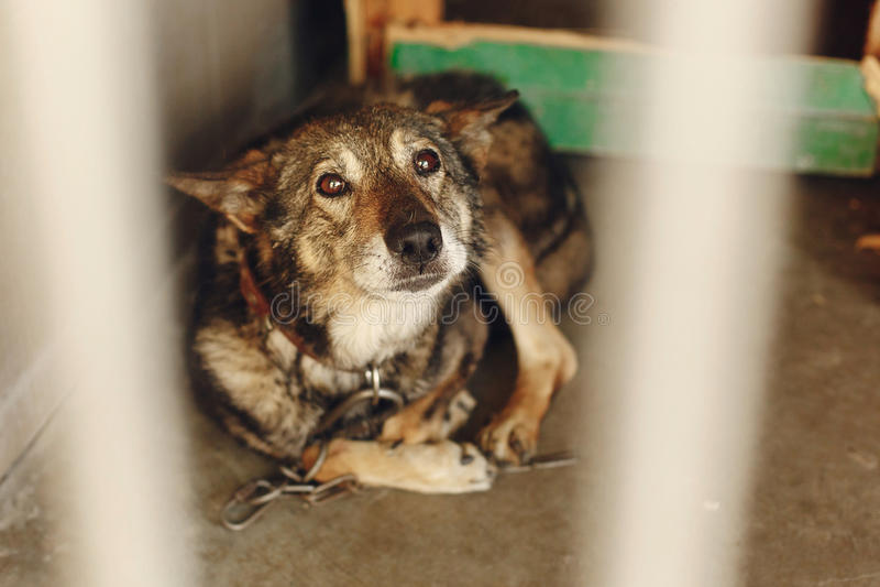 Cão assustado na gaiola com os olhos de grito tristes, mome emocional do abrigo fotografia de stock royalty free