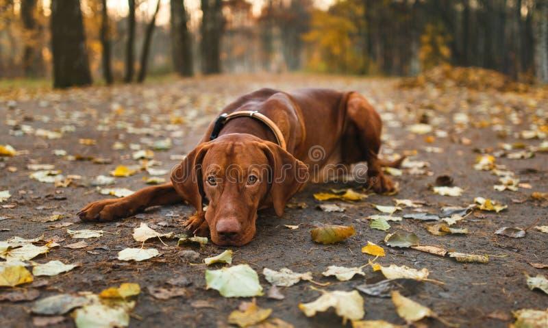 Cão ativo de Vizsla do Hungarian que corre fora no parque do outono imagem de stock
