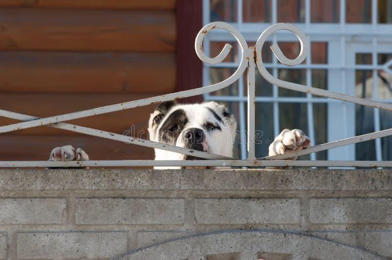 Cão atrás da cerca foto de stock royalty free