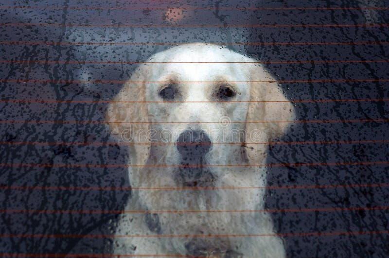 Cão atrás do indicador de carro traseiro fotografia de stock