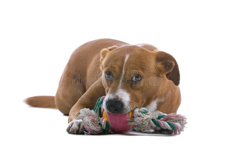 Cão austríaco do Pinscher com brinquedo fotos de stock royalty free