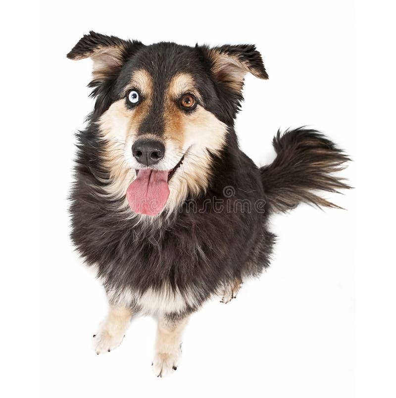 Cão australiano da mistura do pastor isolado no branco imagens de stock