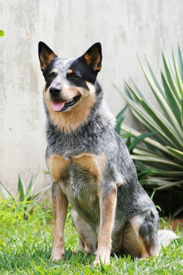 Cão australiano do gado foto de stock