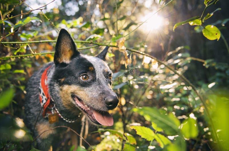 Cão australiano do gado na floresta úmida fotografia de stock royalty free