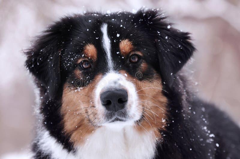 (Cão australiano do pastor australiano) que olha diretamente o no tempo de inverno em que a neve está caindo imagem de stock royalty free